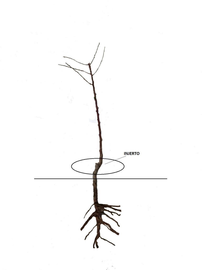 plantar a raíz desnuda2
