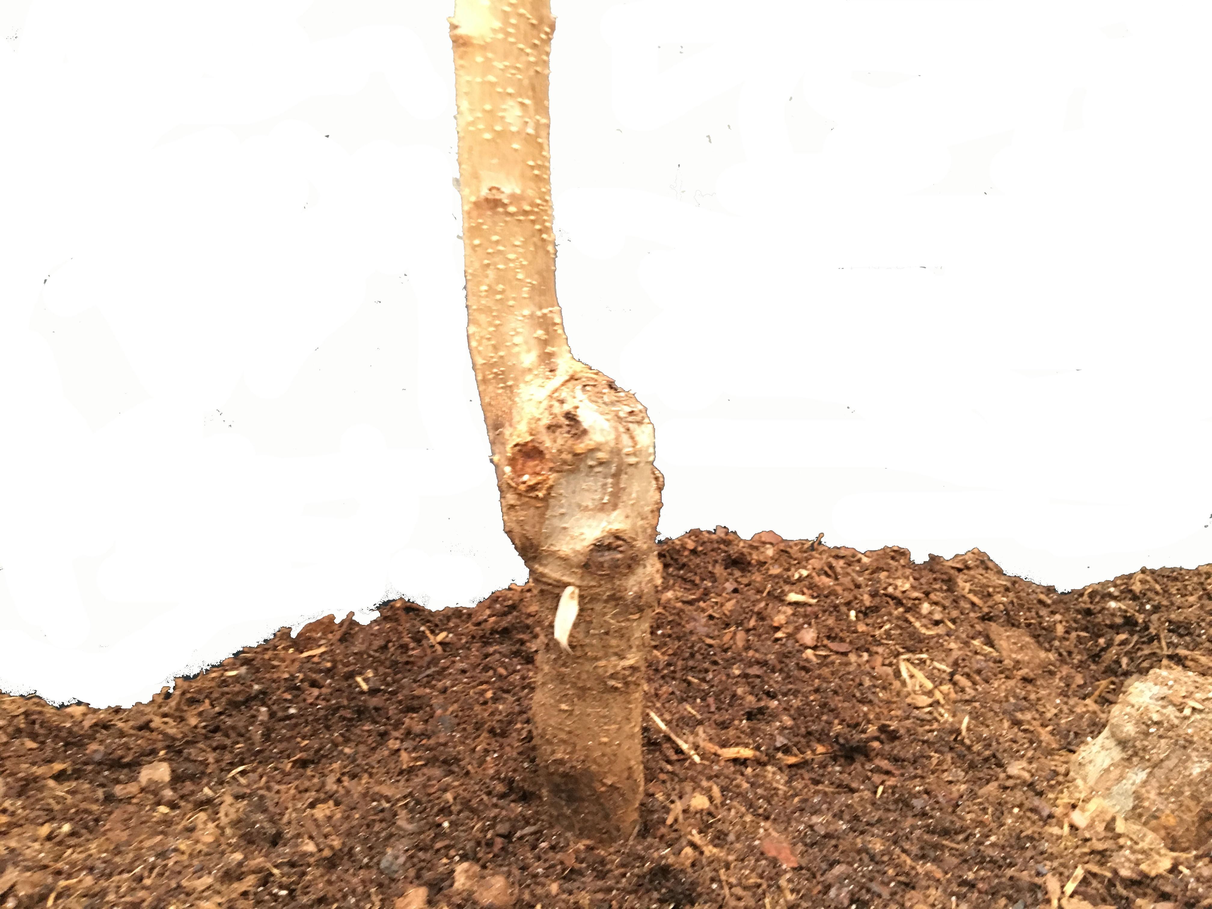plantar frutales