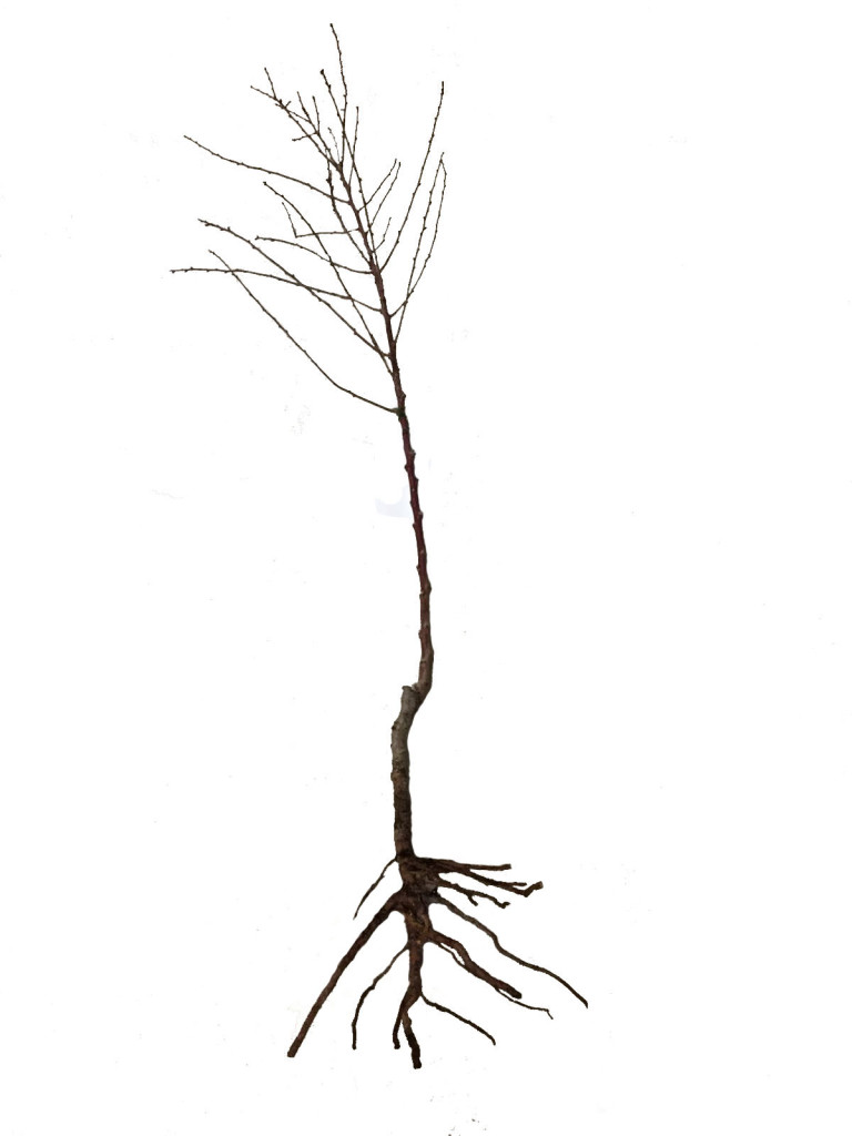 raíz desnuda